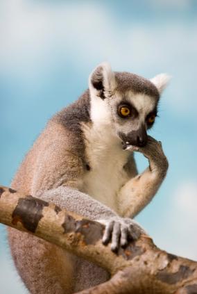 En tänkande Lemur!